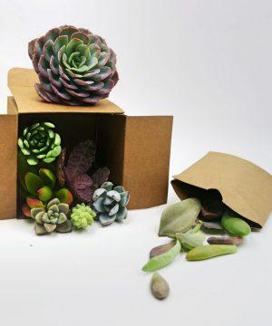 Box suculentas